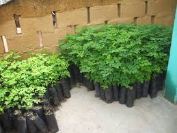 how to grow your own moringa tree kuli kuli foods