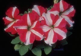 petunia flowers petunia flower
