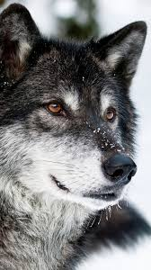 top 25 best wolf wallpaper ideas on pinterest how to draw dogs wolf iphone 6 wallpaper google search