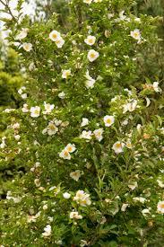 plants native to japan japanese stewartia monrovia japanese stewartia