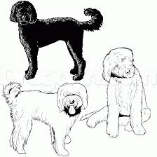 draw a labradoodle step by step drawing sheets added by