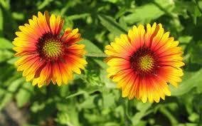 blanket flowers facts information about genus gaillardia