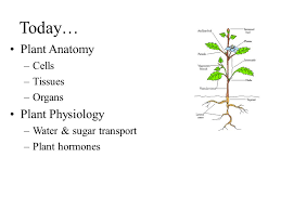 Anatomy And Physiology Cells And Tissues Plant Anatomy And Physiology Ppt Video Online Download