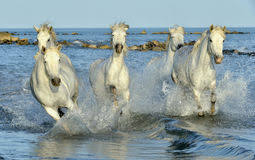 camargue white horse wallpapers white camargue horses galloping through water stock photo image