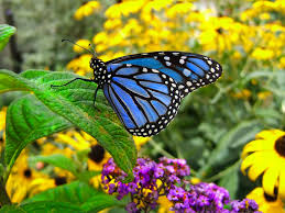 blue monarch butterfly by dylanspider on deviantart