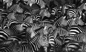 pattern formation zebra how the zebra got its stripes with alan turing