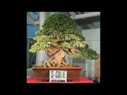 most expensive bonsai tree