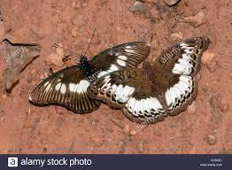 commander butterfly euryphura chalcis right false chief