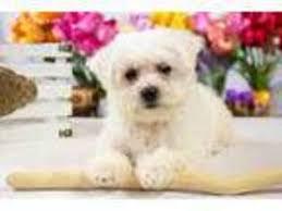 bichon frise nashville view ad bichon frise puppy for sale ohio youngstown usa