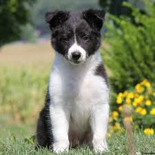 bearded collie and border collie mix border collie mix puppies for sale greenfield puppies