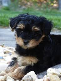 hair accessories for yorkie poos yorkie poo information information on yorkie poos i strive to