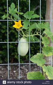 Hanging Vegetable Gardens by Cucurbita Pepo Spaghetti Squash Plant Grown Over A Wire Frame