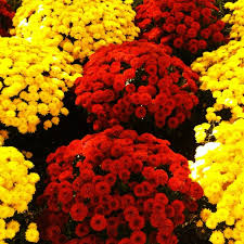 135 best flowers mums images on pinterest flowers daisy and