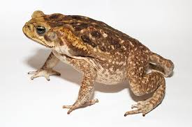 How To Get Rid Of Cane Toads In Backyard Cane Toad Bufo Marinus With Poison Glands Behind The Eyes