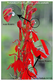 cardinal flower a match made in a wetland cardinal flower and the ruby throated