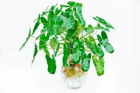 philodendron philodendron hydroponic alpha beta flora
