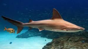 sandbar shark wikipedia