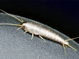 effective measures to kill silverfish bugs