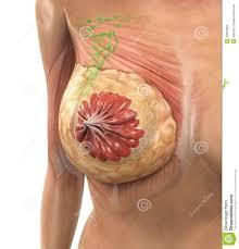 Female Breast Anatomy And Physiology Anatomy And Physiology Of The Female Breast Archives Human