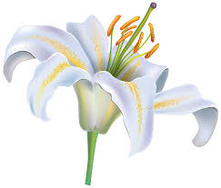 white lilly white flower png clipart image best web clipart