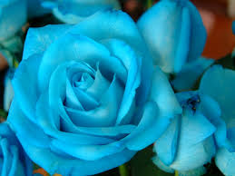 colored roses bluerose025 jpg