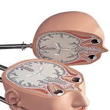 Mri Sectional Anatomy Mri Torso 15 Transverse Sections Va20 Anatomical Models