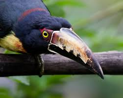 Canopy Birds by John Afdem U0027s Panama Photog Blog Panama Birds Wildlife