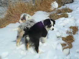 australian shepherd forum tail docking and dew claws removal page 2 poodle forum