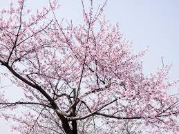 Cherry Blossom Facts by Yeouido 2017 Cherry Blossom Festival Korea Blog