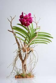 vanda orchids vanda orchid