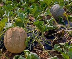 The Trellis And The Vine Growing Cantaloupe And Honeydew Melons Bonnie Plants