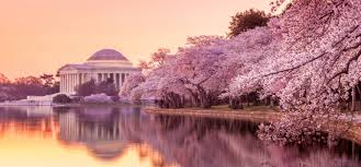 Cherry Blossom Map 5 Unusual Spring Break Locations You Should Seriously Consider