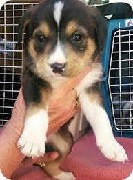 rescue an australian shepherd puppy denver co australian shepherd mix meet rye a dog for adoption