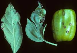 Bacterial Diseases Of Plants - solanaceous bacterial spot center for agriculture food and the