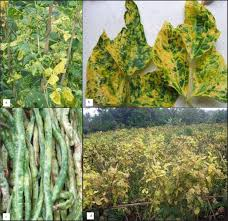 Symptoms Of Viral Diseases In Plants - severe outbreak of a yellow mosaic disease on the yard long bean