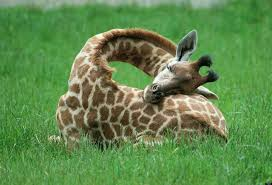 why giraffes are cool