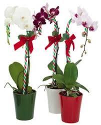Orchid Plants Candy Cane Orchid Plant Kremp Com
