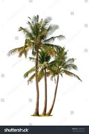 three coconut palm trees isolated on stock photo 133094522