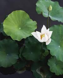 Lotus Flower In Muddy Water - we call it the thunder caesar boston boston pizza water