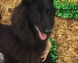 belgian sheepdog california blackforest u0027s authentikos agape u2013 tikos u2013 blackforest belgian