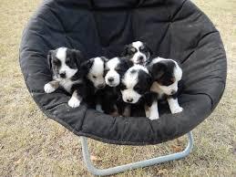 australian shepherd puppies under 500 miniature australian shepherd puppies at bond