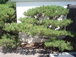 niwaki pruned mugo pine nikka yuko japanese friendship