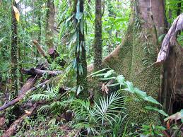 native plants in tropical rainforest tropical rainforest wikipedia