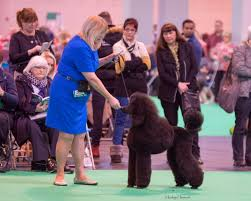 crufts bichon frise 2014 news the lady and the tramp grooming salon and spathe lady