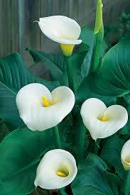 white calla lilies seedlings india calla white live plant flower and fruit