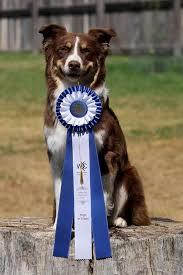 risk n hope australian shepherds cocoa superfly dogs u2013 australian shepherds in british columbia