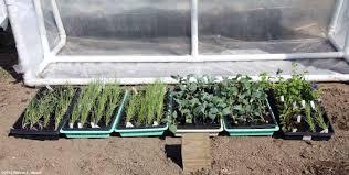 senior gardening growing broccoli