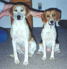 is a bluetick coonhound a good pet harrier club of america do you have a harrier