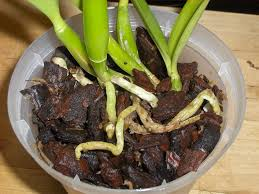 orchid bark orchids how to how to repot a cattleya orchid in bark and