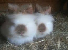 lion heads for sale stunning himalayan lion rabbit for sale leicester